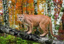 dağ aslanı