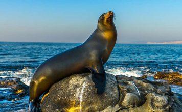 deniz aslanı